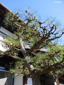 Japanese red pine, matsu, 赤松、マツ